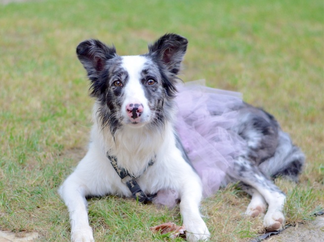 Baillie Border Collie